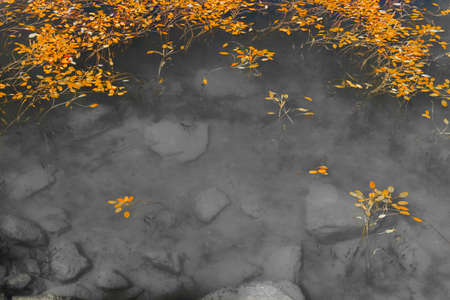 Bright orange color leaves gowing and floating contrast in shallow monochromatic rocky pond.