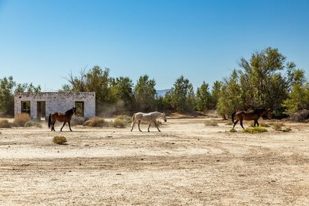 Wild horses walk past an abandoned building that sits alongside the roadway near Death Valley Junction in the Funeral Mountains Wilderness Area, California. Stock Photo