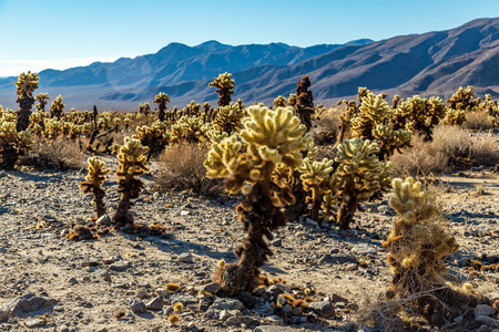 The jumping cholla name comes from the ease with which the stems detach when brushed. Often the merest touch will leave a person with bits of cactus hanging on their clothes to be discovered later when either sitting or leaning on them. 版權商用圖片