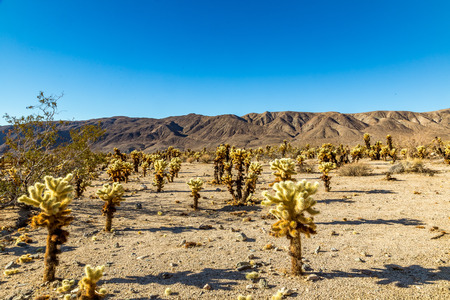 joshua: The jumping cholla name comes from the ease with which the stems detach when brushed. Often the merest touch will leave a person with bits of cactus hanging on their clothes to be discovered later when either sitting or leaning on them. Stock Photo