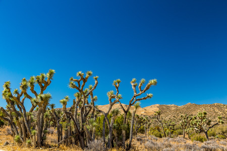 joshua: Joshua Tree National Park is a vast protected area in southern California. Its characterized by rugged rock formations and stark desert landscapes. Stock Photo
