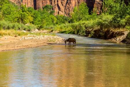 mule deer: zion National Park is a southwest Utah nature preserve distinguished by Zion Canyon�??s steep red cliffs. Zion Canyon Scenic Drive cuts through its main section, leading to forest trails along the Virgin River.