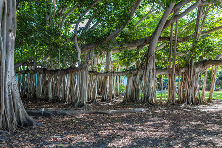 A banyan tree in south Florida that was planted in the 1920s.