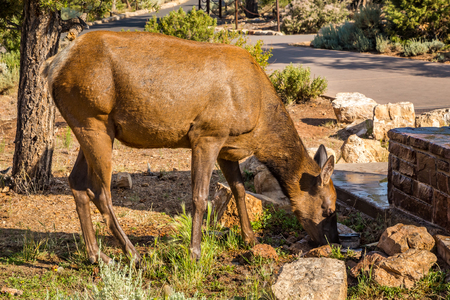 mule deer: Along the Grand Canyon National Park in Arizona there are multiple lookouts and overlooks to see down into the canyon. Stock Photo