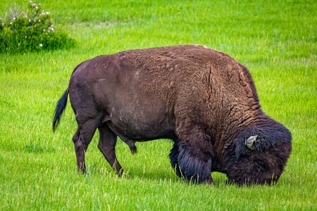 An American Bison grazes in the parking area at the Painted Canyon Overlook at Theodore Roosevelt National Park near Medora, North Dakota.