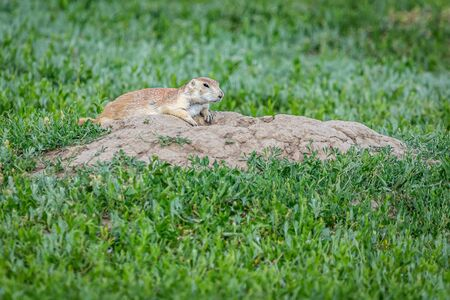Prairie dogs stay alert for predators at their burrows along the Scenic Loop Road in Theodore Roosevelt National Park.
