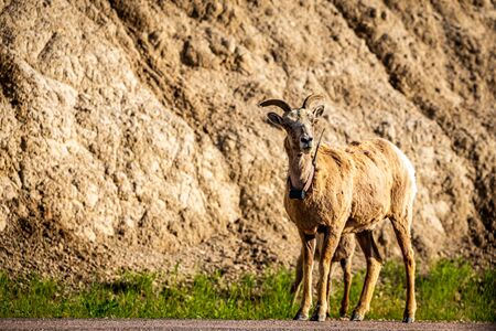 A Bighorn Sheep ewe and her lamb along the roadway at Badlands National Park In South Dakota. Stock Photo