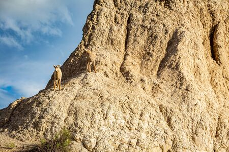 A pair of Bighorn Sheep lambs occupy a rocky outcrop at Badlands National Park in South Dakota.