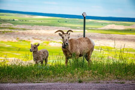 A Bighorn Sheep ewe grazes along with her lamb at Badlands National Park In South Dakota.