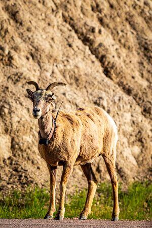 A Bighorn Sheep ewe along the roadway at Badlands National Park In South Dakota.
