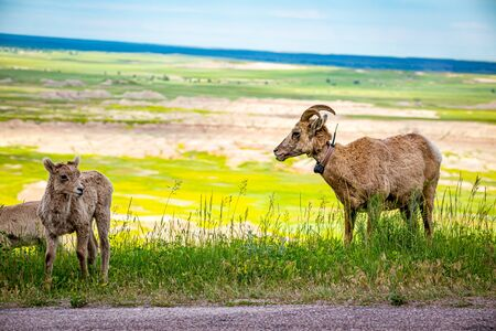 a Bighorn Sheep ewe and her lamb graze along the roadway at Badlands National Park In South Dakota.