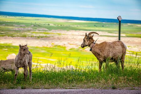 a Bighorn Sheep ewe and her lambs graze along the roadway at Badlands National Park In South Dakota. Stock Photo