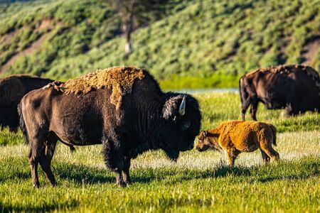 Bison graze along the Yellowstone River at Yellowstone National Park in Wyoming. Foto de archivo