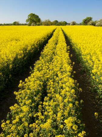 oilseed: tracks in oilseed crop Stock Photo