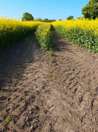 oilseed: tracks in oilseed crop Stock Photo