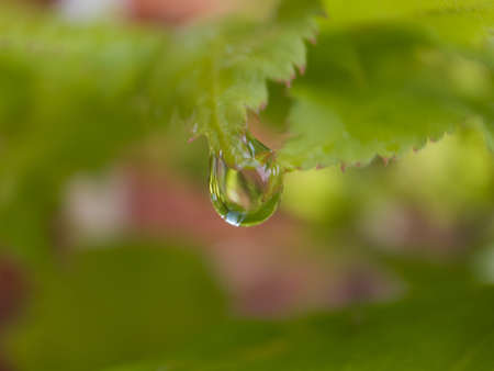 surface tension: Rain drop hanging from a leaf.