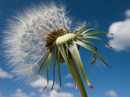 Dandelion Stock Photo - 9499930