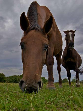 merrie: Twee paarden grazen Stockfoto