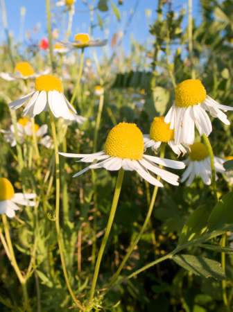 daises: Daises in a field of wild flowers Stock Photo