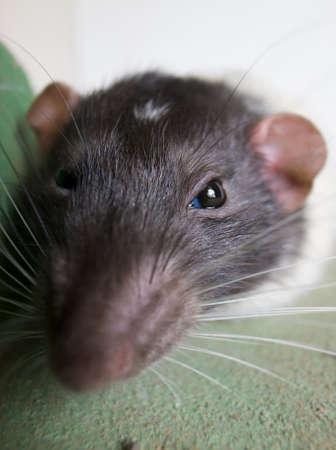 nip: Rat. A close up portrait of a domestic rat.