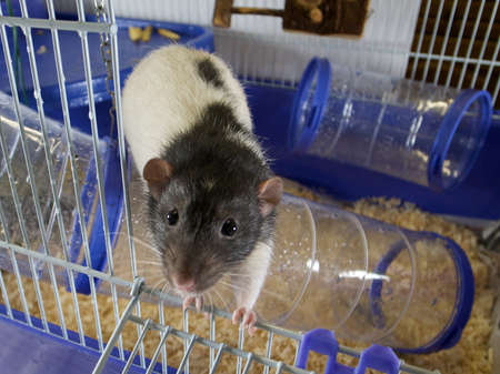 Domestic rat in a cage Stock Photo - 13293906