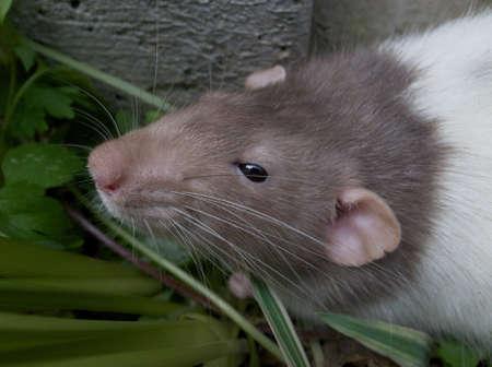 nip: Domestic rat exploring outdoors