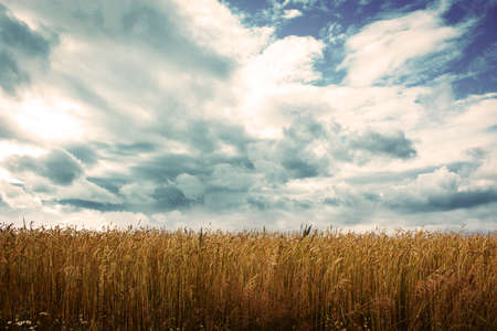 Village Wheat Field on the Background of Beautiful Clouds
