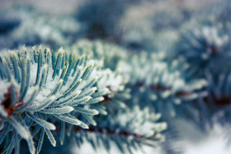 Frosty Spruce Branch with Snow in Winter. Shallow Depth of Field. Stock Photo