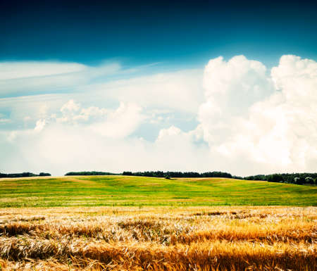 Summer Wheat Field on the Background of Beautiful Clouds  Agriculture Concept  Toned Photo  Copy Space