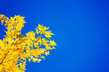 Yellow Autumn Leaves on the Blue Sky Background photo