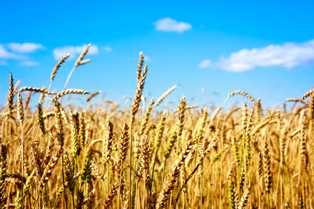 non cultivated: Ears of Golden Wheat on the Background of Blue Sky. Agriculture concept. Shallow Depth of Field. Copy Space.