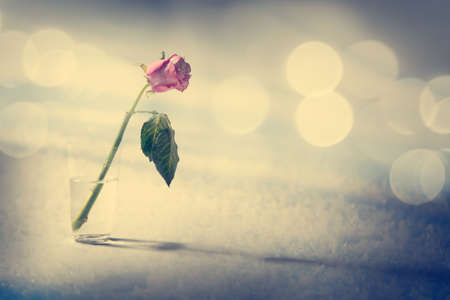 flowers bokeh: Dying Rose on the Snow Background. Solitude Concept. Toned Photo with Bokeh and Copy Space. Stock Photo