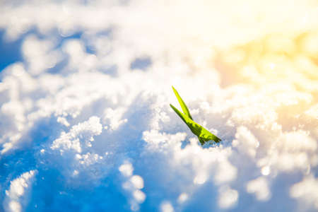 Young Sprout Grows in Snow. Winter Closeup Photo with Sunlight. Shallow Depth of Field. New Life, Hope and Nature Awakening in Spring Concept. Toned Photo with Beautiful Bokeh.