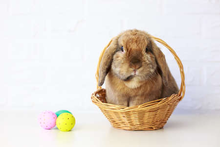lop eared: Easter Bunny in Basket with Easter Eggs. White Brick Wall Background. Shallow Depth of Field. Fluffy Brown Lop-Eared Rabbit. Copy Space. Stock Photo