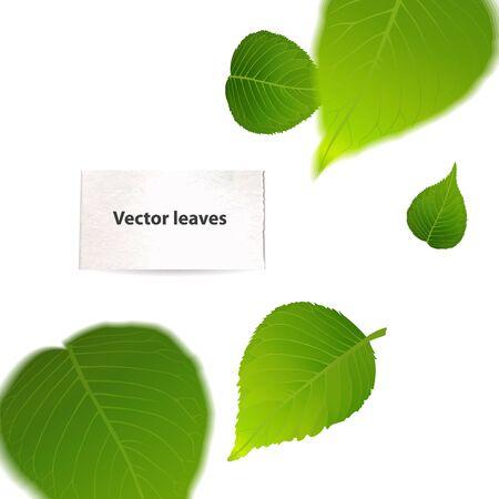 feuille arbre: La chute des feuilles de vecteur vert. Isolé sur blanc Illustration Illustration