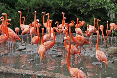 florida flamingo: A flock of Flamingos in their natural habitat