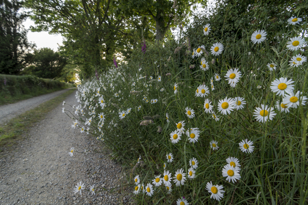 calcareous: Wild daiseys Corn Chamomile - Anthemis arvensis, growing by the side of a country path in the summer