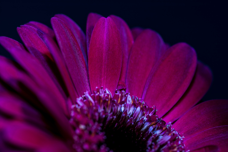 stigma: Close up of purplered flower petals, with a portion of the stigma showing Stock Photo
