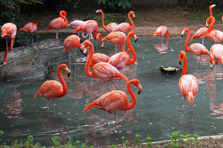 florida flamingo: Flamingos in their natural habitat