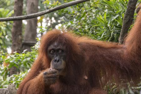 biped: Orangutan (Pongo pygmaeus)