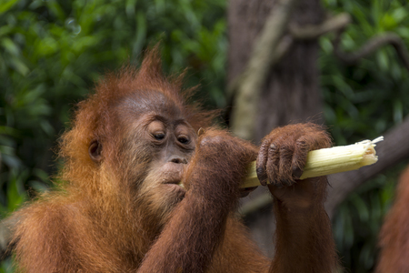 hominid: Orangutan (Pongo pygmaeus) eating sugar cane