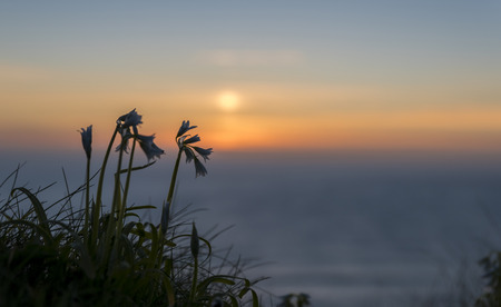 silhoutted: small, sping flowers , growing on cliff edge, silhoutted against the sunset