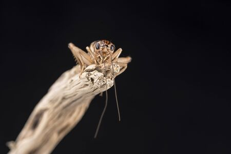 close up eyes: A house cricket perched on the end of a piece of wood, isolated against a black background. Room for copy.