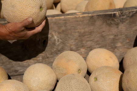 Picking Up Cantaloupe From Wooden Bin