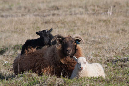 Family of Icelandic Sheep, Black Lamb, Brown Mother and White Lamb