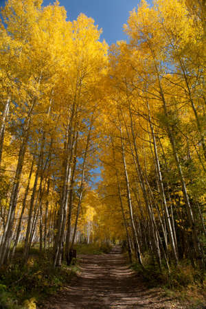 bridget calip: Golden Aspen Trees on a Backcountry Road in Autumn