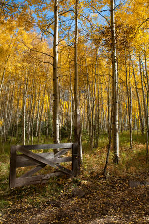 bridget calip: Wooden gate on a path filled with golden Aspen trees