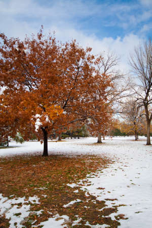 Maple Tree After Fresh Snow in Autumn Stock Photo