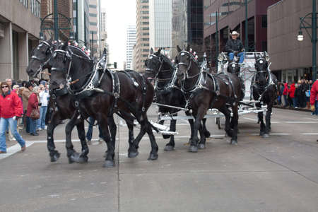 Denver, Colorado January 10, 2013 National Western Stock Show Parade  Black Horses Pulling A Stagecoach in Downtown Denver Streets for National Western Stockshow Parade