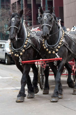 black horses: Denver, Colorado January 10, 2013 National Western Stock Show Parade  Two Dainty Black Horses With Bells